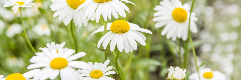 Chamomile essential oil health benefits why essential oils chamomile essential oil health benefits mightylinksfo