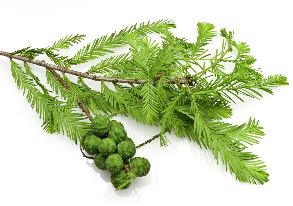 cypress essential oil health benefits why essential oils